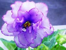 Violett marmor Apollo Stock Illustrationer