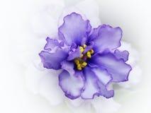 Violett marmor Apollo Fotografering för Bildbyråer