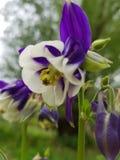 Violett med den vita härliga blomman arkivfoton