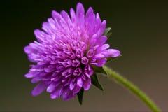 Violett mentha i blacken Arkivfoton
