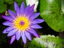 Violett näckros Arkivbilder