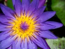 Violett näckros Fotografering för Bildbyråer