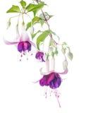 Violett och rosa fuchsiablomma med den isolerade knoppen fotografering för bildbyråer