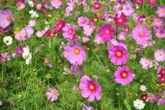 Violett och rosa kosmos blommar i fältet Arkivbilder