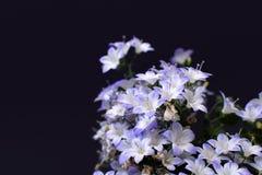 Violett och vit blomma 'klockblomma 'Klocka blomma 'på svart bakgrund royaltyfri bild