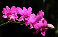 Violett orchid