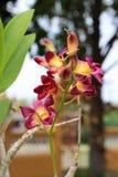 Violett orchid Arkivfoton