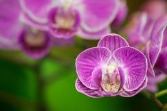 Violett orchid Arkivbild