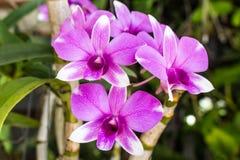 Violett orchid Royaltyfri Bild