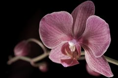 Orchid blossom. Violett orchid blossom and black background Royalty Free Stock Images