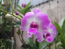 violett orkesterblomma i min naturliga trädgård Royaltyfria Bilder