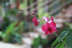 Violett orkidéblomma i trädgårds- bakgrund, violett blomma Royaltyfri Bild