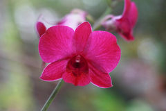 Violett orkidéblomma i trädgårds- bakgrund, violett blomma b Arkivfoton