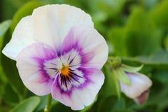 Violett - pensé Fotografering för Bildbyråer
