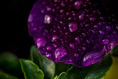 Violett pensé som täckas i regndroppar Arkivbild