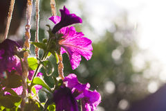 Violett petunia Royaltyfri Foto