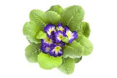 Violett primula Arkivbild