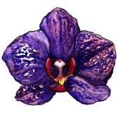 Violett purpurfärgad tropisk isolerad orkidéblomma för vattenfärg Arkivfoto