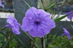 Violett regnblomma på naturbakgrund Royaltyfri Foto