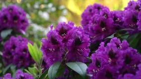 Violett rhododendron på en suddig bakgrund Färgkorrigering lager videofilmer