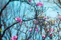 Violett rhododendronblomning Arkivbilder