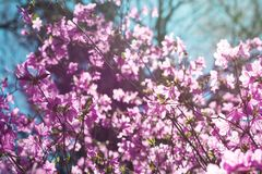 Violett rhododendronblomning Royaltyfri Foto