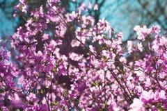 Violett rhododendronblomning Royaltyfri Fotografi