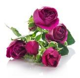 Violett rosgrupp royaltyfri foto