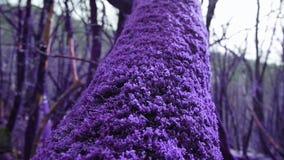 Violett sagaskog som är bevuxen med den magiska tjocka purpurfärgade mossaträdstammen i närbild Fantasi som är overklig, saga arkivfilmer