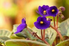 Violett saintpaulia Arkivfoton