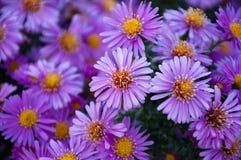 Violett skönhet Royaltyfria Bilder