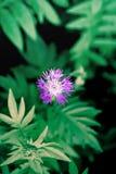 Violett skogblomma Royaltyfri Fotografi