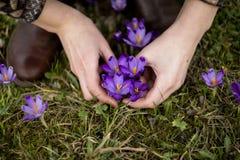Violett snödroppe i armar Arkivbild