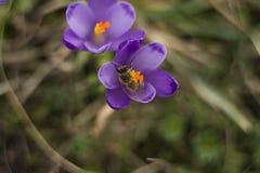 Violett snödroppe med biet Fotografering för Bildbyråer