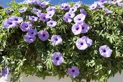 Violett som kryper blommor Royaltyfria Foton