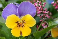 Violett - Stiefmütterchen Lizenzfreies Stockbild