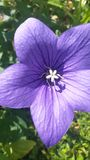 Violett stjärna Fotografering för Bildbyråer