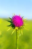 Violett thistle Arkivfoton