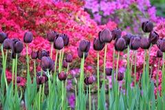 Violett tulpanfält Arkivfoto