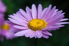 Violett tusensköna Fotografering för Bildbyråer