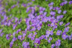 Violett vidd Arkivfoton
