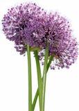 violett vildblomma Fotografering för Bildbyråer