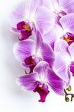 Violett-weiße Orchidee lizenzfreies stockbild
