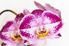 Violett-weiße Orchidee stockfotos