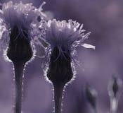 Violett-weißer mit Blumenhintergrund Wildflowers in den Sonne ` s Strahlen Nahaufnahme Weicher Fokus Stockbilder