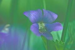 violett wild Royaltyfri Foto