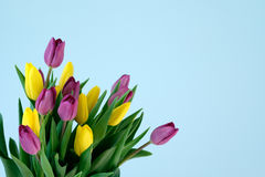 Violett and yellow and violett tulips on the left side ofl ight blue background. Easter, March 8, valentines day, mothers day, copy space, close up Stock Photos