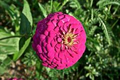 Violett zinnia Royaltyfri Foto