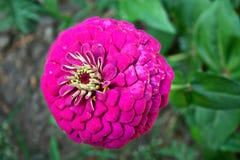 Violett zinnia Royaltyfri Fotografi