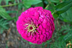 Violett zinnia Arkivfoton